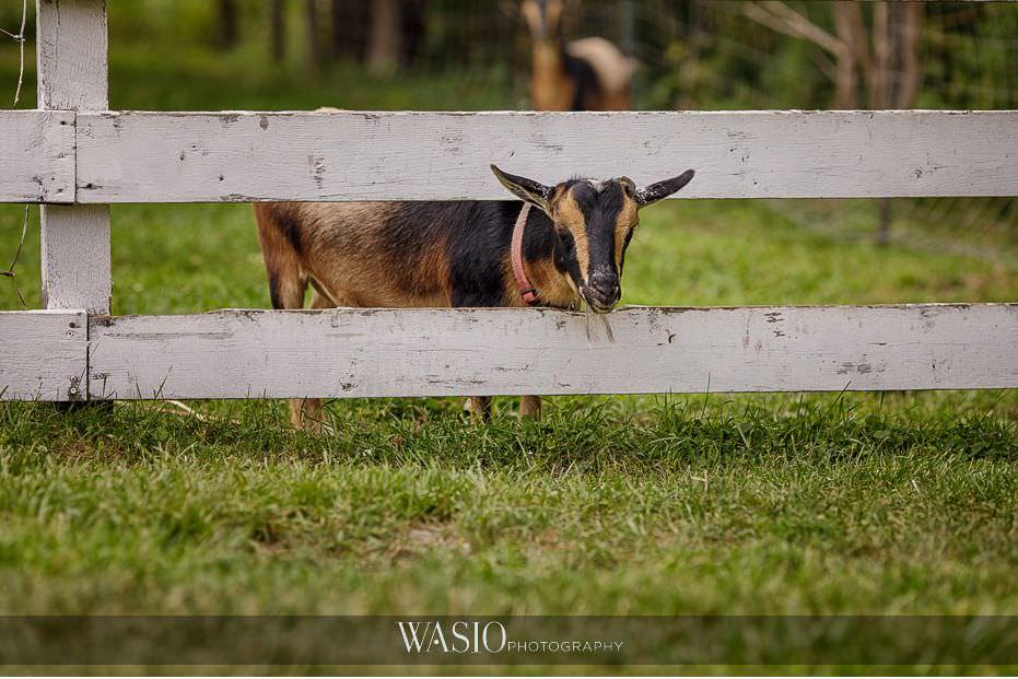 Heritage-Prairie-Farm-Wedding-farm-goat-80 Heritage Prairie Farm Wedding