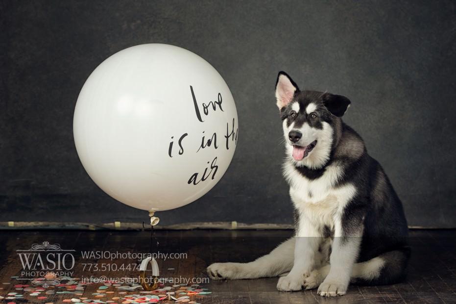 annie-jason-10 The Cutest Alaskan Malamute Puppy Session