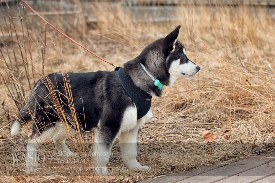 annie-jason-2 The Cutest Alaskan Malamute Puppy Session