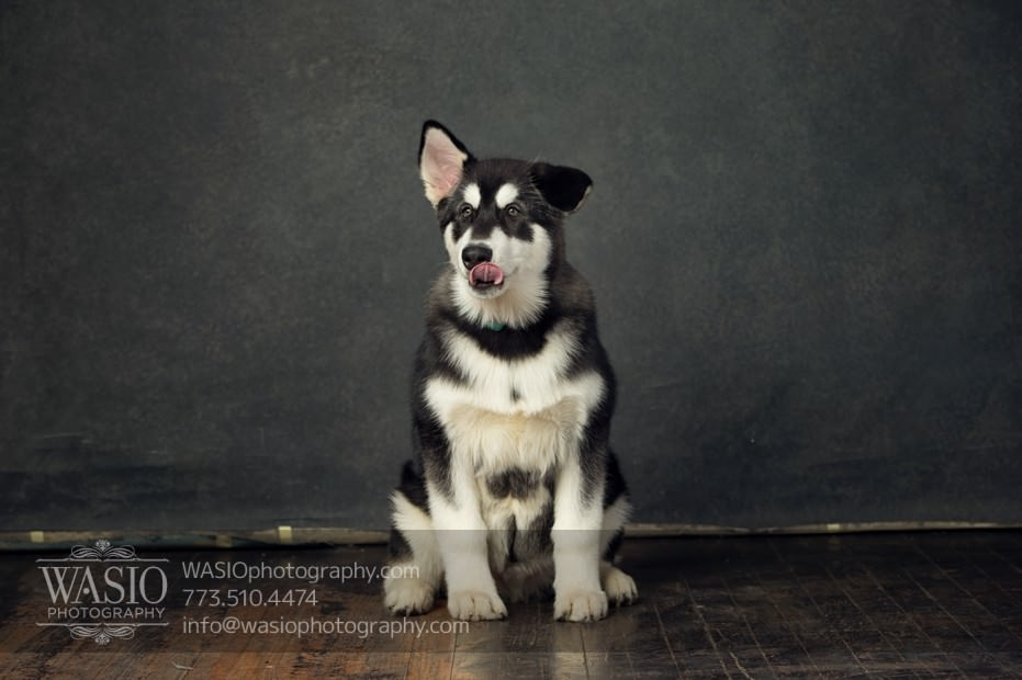 annie-jason-6 The Cutest Alaskan Malamute Puppy Session