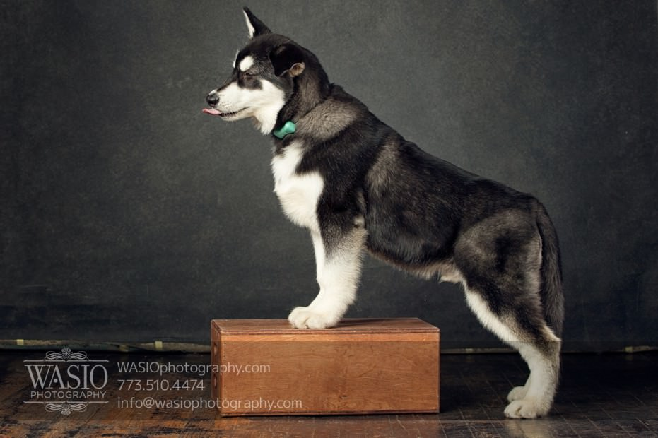 annie-jason-7 The Cutest Alaskan Malamute Puppy Session
