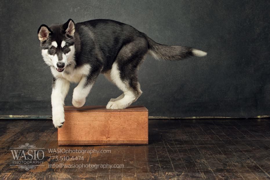 annie-jason-8 The Cutest Alaskan Malamute Puppy Session