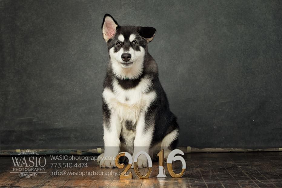annie-jason-9 The Cutest Alaskan Malamute Puppy Session