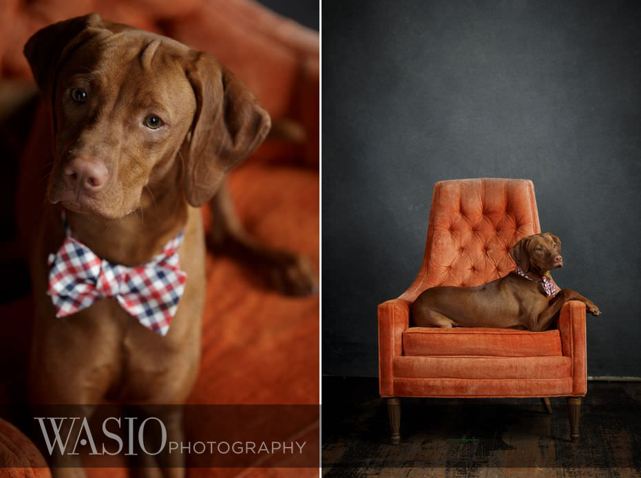 dog-photography-bow-tie-85 Dog Photography - Beau the handsome Vizsla