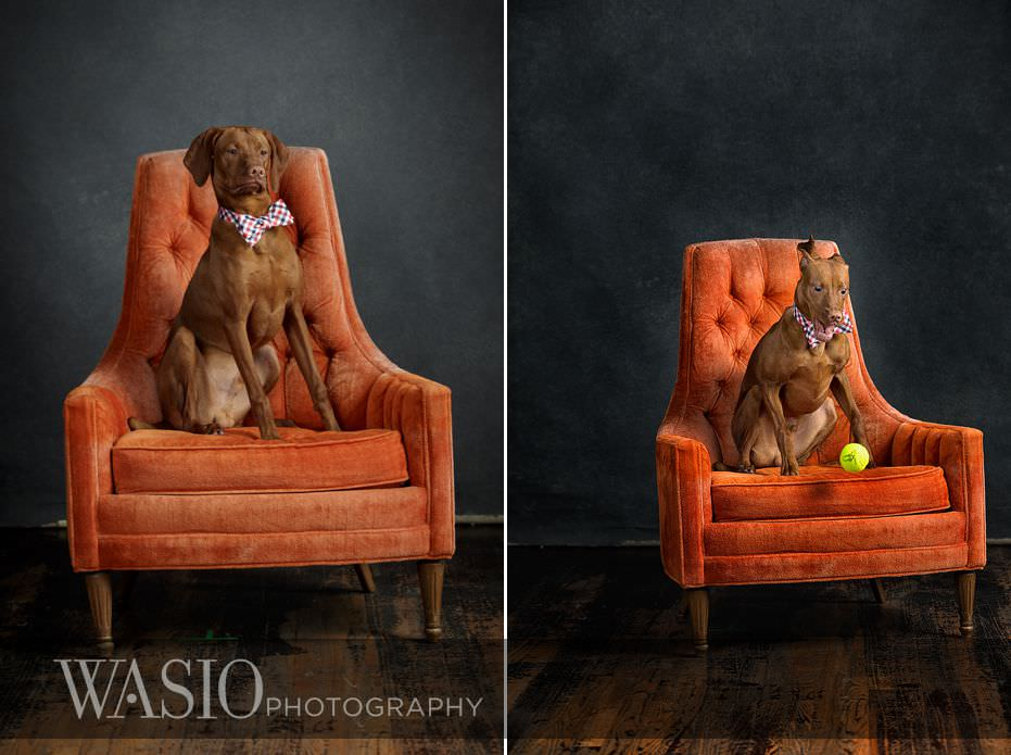 dog-photography-concentrated-puppy-tennis-ball-84 Dog Photography - Beau the handsome Vizsla