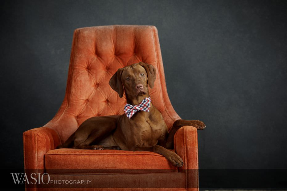 dog-photography-cute-orange-bow-tie-83 Dog Photography - Beau the handsome Vizsla