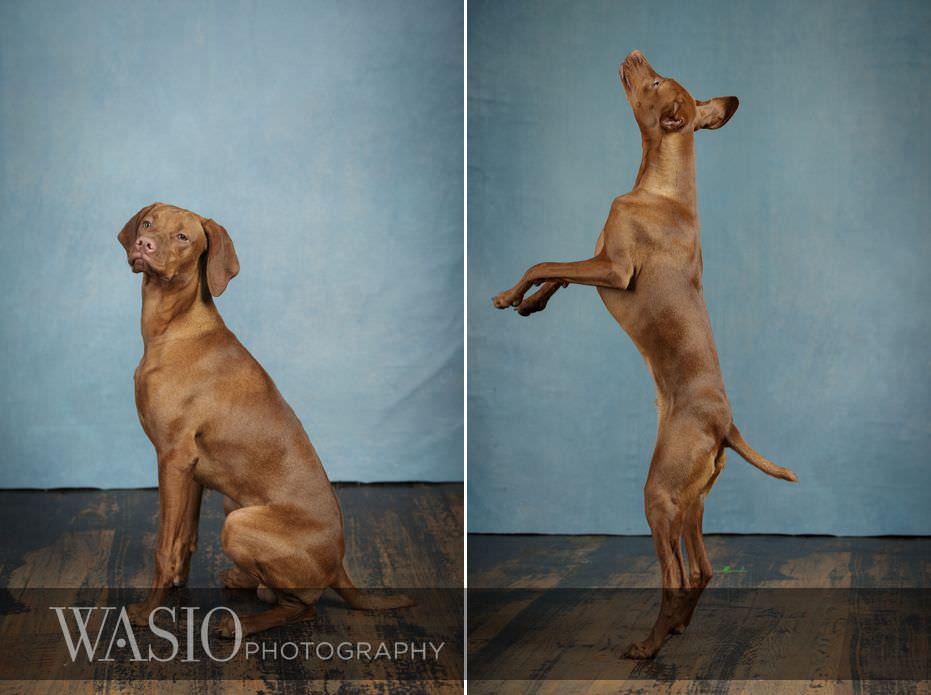 dog-photography-jump-funny-viszla-puppy-west-loop-89 Dog Photography - Beau the handsome Vizsla
