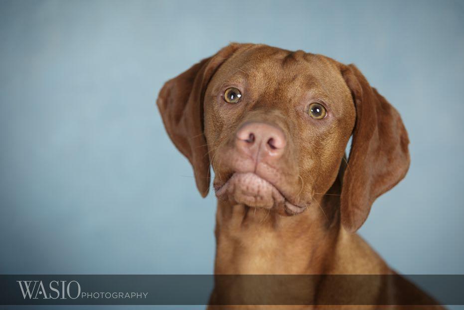 dog-photography-profesional-headshot-79 Dog Photography - Beau the handsome Vizsla