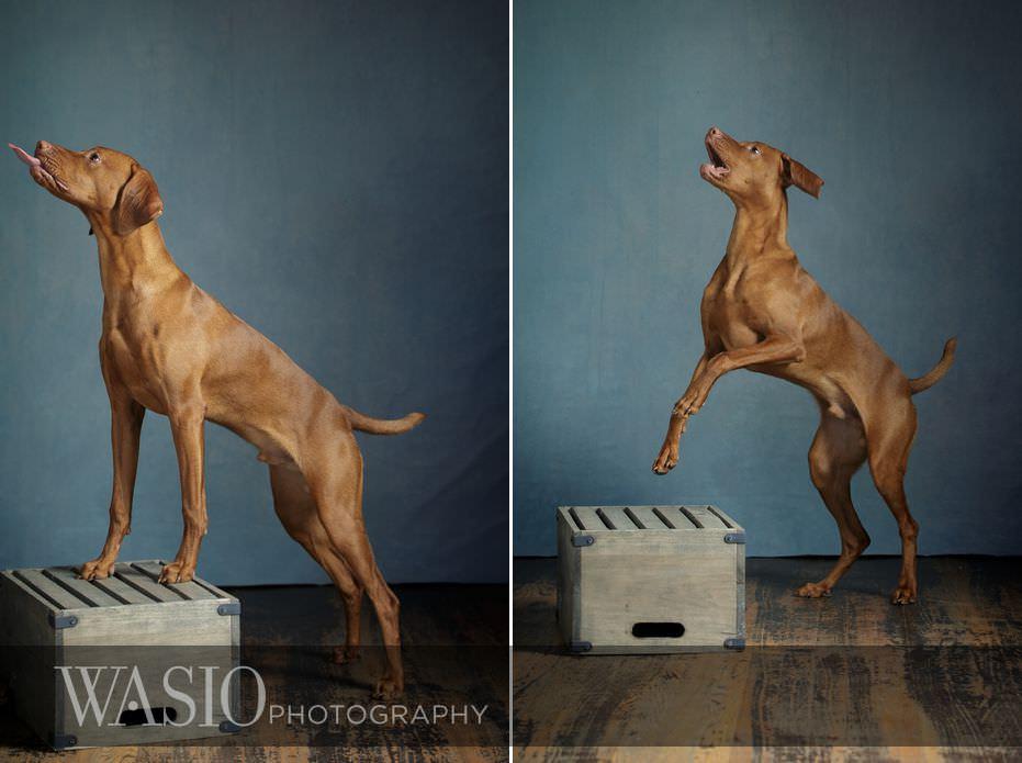 dog-photography-tongue-out-cute-puppy-viszla-88 Dog Photography - Beau the handsome Vizsla