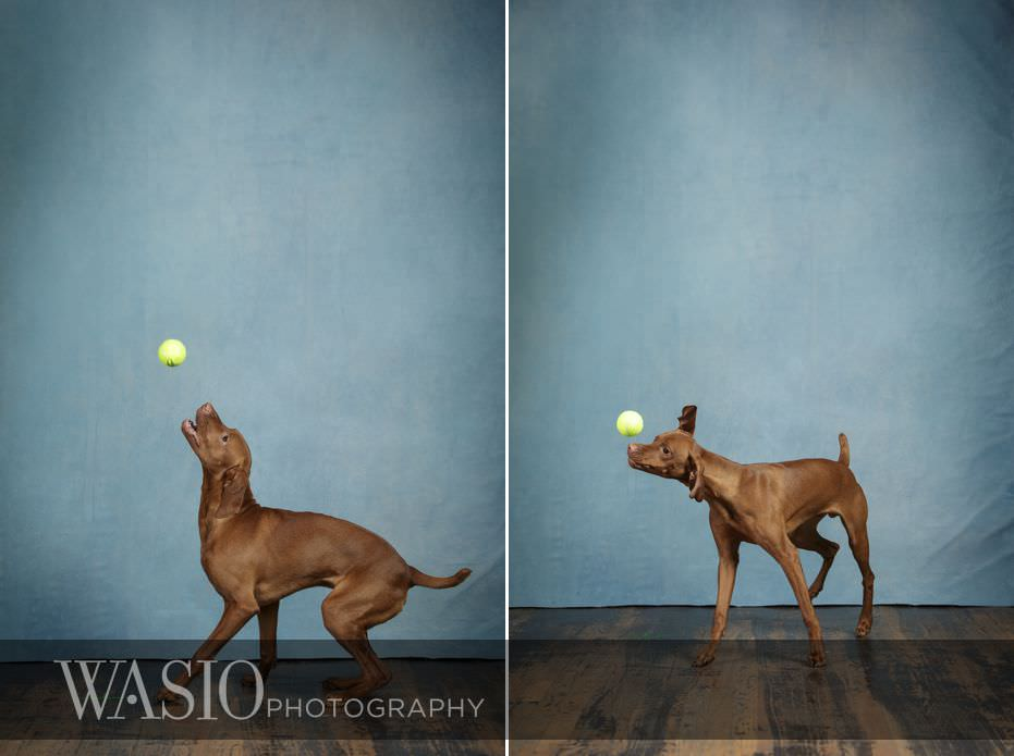 dog-photography-viszla-puppy-playing-with-tennis-ball-90 Dog Photography - Beau the handsome Vizsla